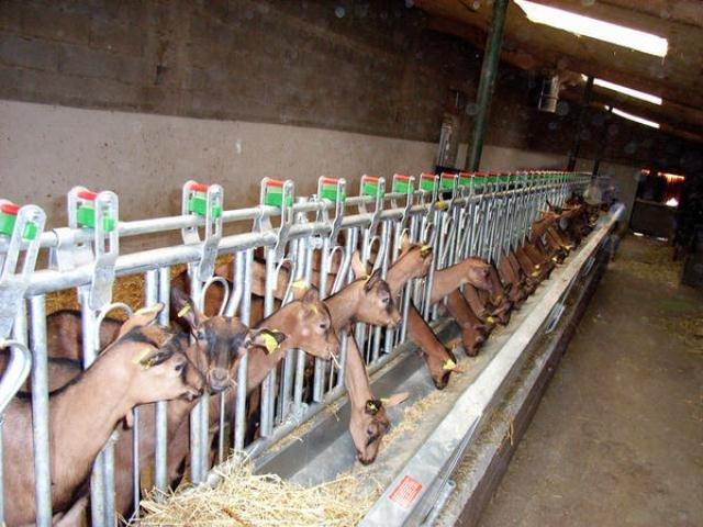Equipements de bergerie pour ovins et caprins agro p e s for Autocatture per capre